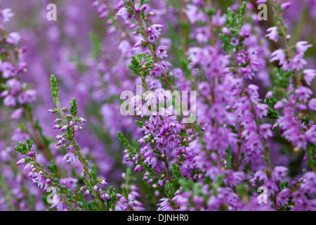 lila heidekraut calluna vulgaris im august am yorkshire moors bl hend stockfoto bild 72937563. Black Bedroom Furniture Sets. Home Design Ideas