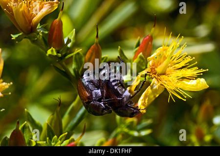 Zwei japanische Käfer zusammengefasst kurz nach dem schlüpfen in einen Strauch mit gelben Blüten, Nahaufnahme. - Stockfoto