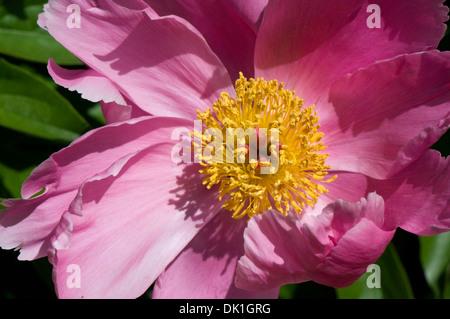 Rosa, Pfingstrose Blüte mit gelben Pollen gefüllt Center, verdreht Makro Nahaufnahme. - Stockfoto