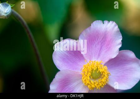 Makro-Bild einer japanischen Anemone Blume, Nahaufnahme mit seiner ...