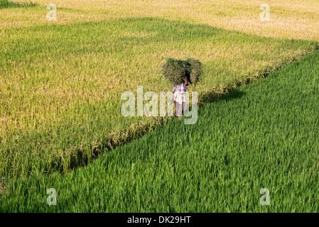 Indischer Mann mit Grasschnitt zu Fuß durch Reisfelder in Indien. Andhra Pradesh, Indien - Stockfoto