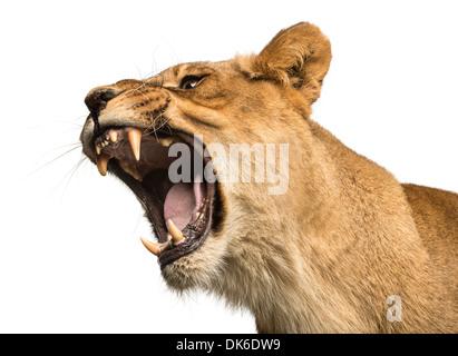 Nahaufnahme von einer Löwin brüllt, Panthera Leo, 10 Jahre alt, vor weißem Hintergrund Stockfoto
