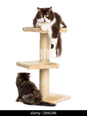 Katzen liegen rund um und auf einem Kratzbaum vor weißem Hintergrund - Stockfoto