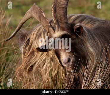 Nahaufnahme des Kopfes und der Oberkörper von einem männlichen Ziegenbock in einer Herde von Ziegen niederländischen Landrasse