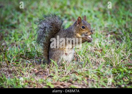Östliche graue Eichhörnchen (Sciurus Carolinensis) auf dem Rasen sitzen und Essen - Stockfoto