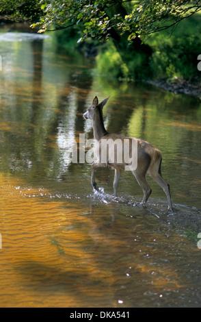 Rothirsch (Cervus Elaphus), Rothirsch Im Wasser Rothirsch (Cervus Elaphus) - Stockfoto