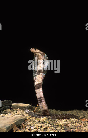 Indische Kobra (Naja Naja Polyocellata) - Stockfoto