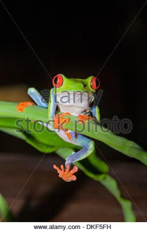 Rotäugigen Baumfrosch (Agalychnis Callidryas) festhalten an Stamm, Costa Rica