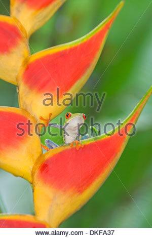 Rotäugigen Baumfrosch (Agalychnis CallidryasAgalychnis CallidryasAgalychnis Callidryas) auf bunte Blatt, Costa Rica