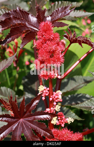 rote bl ten der pflanze rizinuspflanze ricinus communis. Black Bedroom Furniture Sets. Home Design Ideas