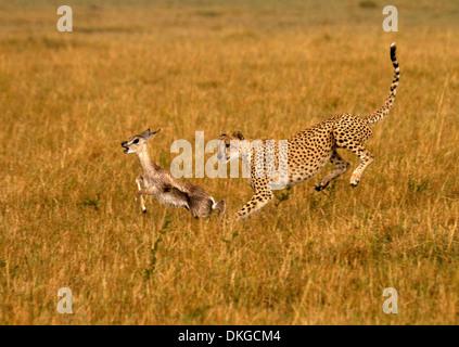 Gepard, Acinonyx Jubatus jagen Beute - Stockfoto
