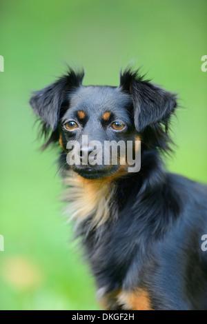 Mischlingshund, portrait - Stockfoto