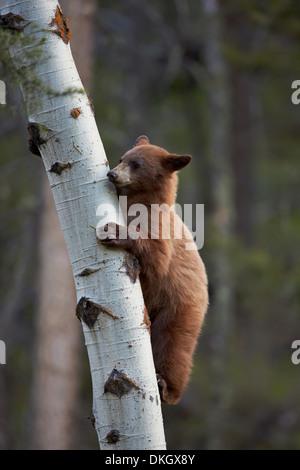 Zimt Schwarzbären (Ursus Americanus) Jährling Cub Kletterbaum, Yellowstone-Nationalpark, Wyoming, USA - Stockfoto