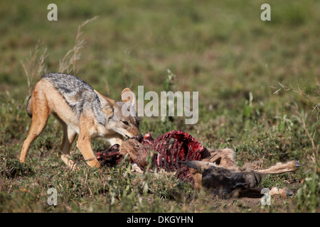 Black-backed Jackal (Canis Mesomelas) an ein Streifengnu Kalb töten, Serengeti Nationalpark, Tansania, Ostafrika, - Stockfoto