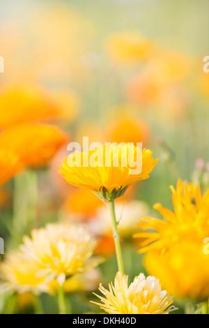 gelbe blumen im garten ringelblume tagetes stockfoto bild 93393936 alamy. Black Bedroom Furniture Sets. Home Design Ideas