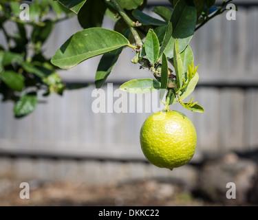 Nahaufnahme einer einzigen wichtigen Limette an einem Ast hängen. - Stockfoto