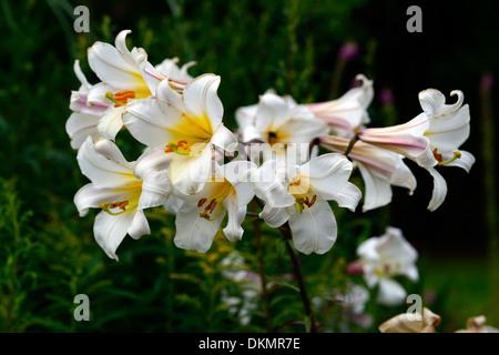 Lilium Regale königliche Lilie Lilien weißen Trompete Blume Blumen ...