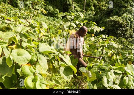 Jiko tragen Plünderung Wurzelgemüse wird er durch Kava Büsche in seiner steilen, Hang Garten außerhalb Lomati, Matuku, - Stockfoto