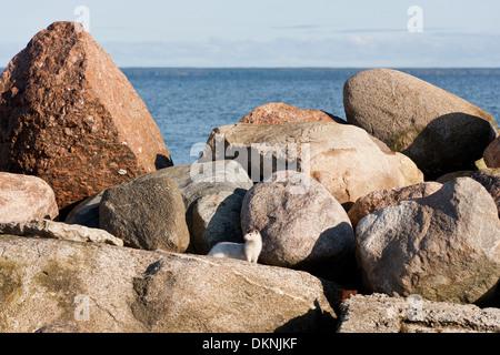Kleine weiße Wiesel umzusehen auf Felsen - Stockfoto