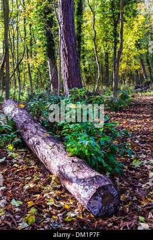 Herbst in den Wäldern bei Stanton Park in Swindon, Wiltshire, UK. - Stockfoto