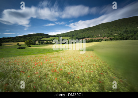 Klatschmohn im Gerstenfeld in der Nähe von Campi, Umbrien, Italien