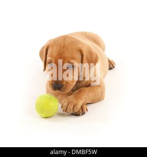 Ein roter Fuchs farbige Labrador Hund Welpen spielen mit einem Tennisball - Stockfoto