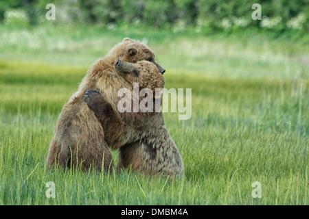 Grizzly Bär Jährling Cubs, Alaska Braunbären, Ursus arctos, umarmen während einem Zeitraum von Spiel zu kämpfen, Lake Clark National Park, Alaska, USA Stockfoto