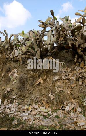 Befall der Schmierlaus (Dactylopius Coccus) auf Feigenkaktus (Opuntia Ficus-Indica) Andalusien, Spanien. - Stockfoto