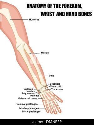 Anatomie des Unterarms (Arm) und Hand-Bones Stockfoto, Bild: 7711367 ...
