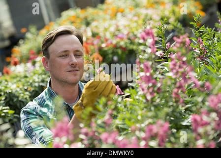 Ein Mann, der arbeitet in einem organischen Gärtnerei Gewächshaus. - Stockfoto