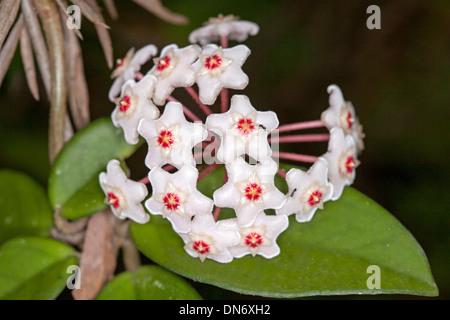 Cluster von attraktiven weißen australischen Wildblumen und ...