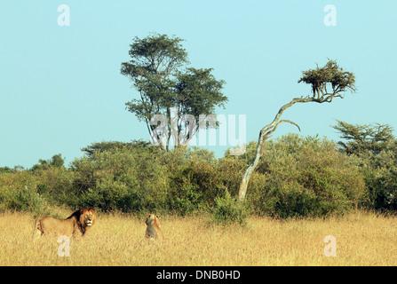 Löwen paar (Panthera Leo) im Rasen, Massai Mara, Kenia - Stockfoto