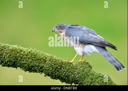 Sperber (Accipiter Nisus) - UK - Stockfoto