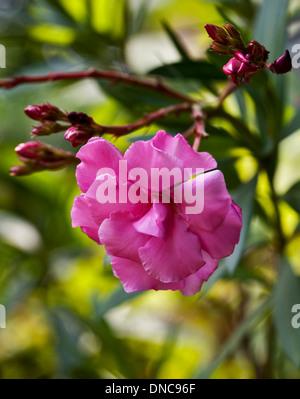 Nerium Oleander rosa - Stockfoto