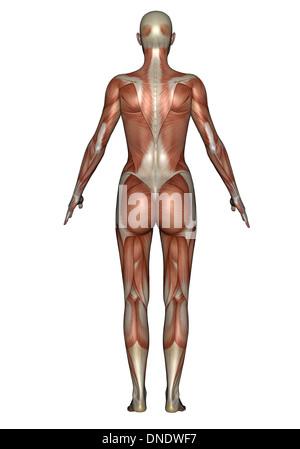 Anatomie der weiblichen Muskulatur, Rückansicht. - Stockfoto