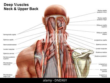 Menschliche Anatomie zeigt Tiefe Muskeln im Nacken und oberen Rücken ...