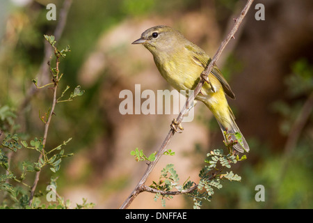 Orange-gekrönter Warbler, Vermivora Celata, Mesquite Busch gehockt - Stockfoto