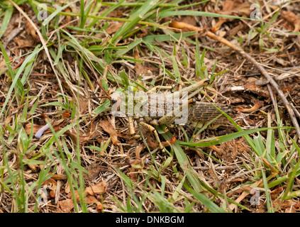Phymateus Viridipes, aka Green Wolfsmilch Heuschrecke oder afrikanischen Bush Grasshopper getarnt im Rasen in Isandlwana, - Stockfoto
