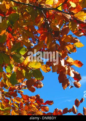Sonnendurchflutetes Buche Baum Blätter (Fagus Sylvatica) im Herbst, UK - Stockfoto