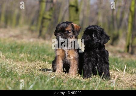 Belgischer Griffon Hunde / Griffon Belge und Hund Brüsseler Griffon / Griffon Bruxellois zwei Welpen sitzen auf - Stockfoto