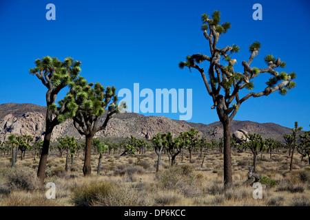 Ansicht der Joshua Tree Nationalpark, Kalifornien, Vereinigte Staaten von Amerika, USA. Landschaft, Natur, Wildnis, - Stockfoto
