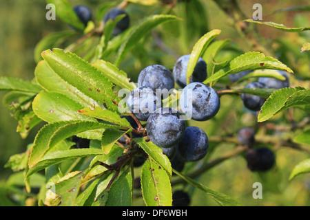 Schlehe (Prunus Spinosa) Nahaufnahme der Blätter und Beeren wachsen in Hecke Pfarrhaus Plantage Mendlesham Suffolk - Stockfoto