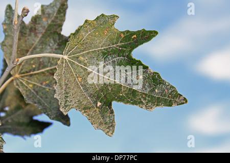 Silberpappel (Populus Alba) Nahaufnahme des Blattes, wächst in Hecke, Mendlesham, Suffolk, England, Oktober - Stockfoto
