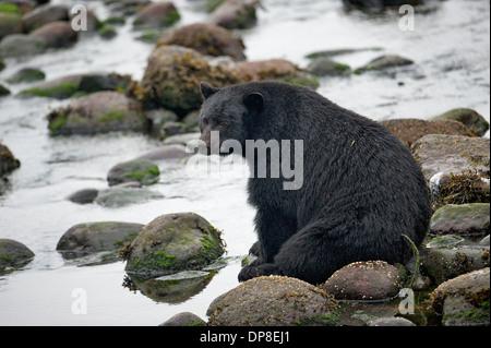 Schwarzer Bär (Ursus Americanus), Thornton Fish Hatchery, Ucluelet, Britisch-Kolumbien, Kanada - Stockfoto