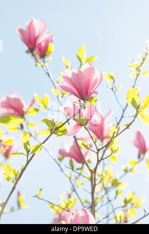 Magnolie, Baum, Blumen, Blüte, Nahaufnahme, isoliert, blühen, Ostern ...
