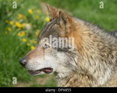 Eurasische Wolf (Canis Lupus Lupus) Porträt - Stockfoto