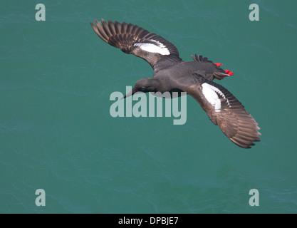Taube Guillemot im Flug über Green Ocean - Stockfoto