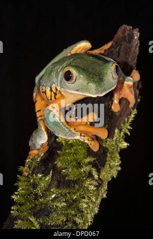 Herrliche Blatt Frosch, Cruziohyla calcarifer - Stockfoto