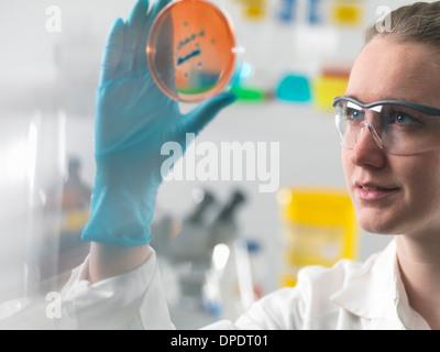 Wissenschaftlerin, die Prüfung der mikrobiologischer Kulturen in einer Petrischale - Stockfoto