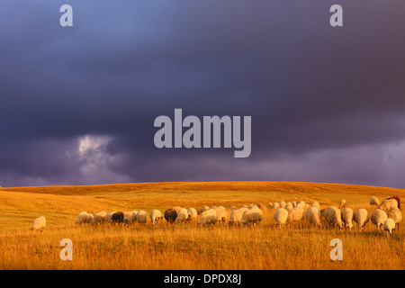 Nutztiere auf Wiese mit einer bedrohlichen Wolke im Hintergrund - Stockfoto